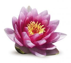 Main Lotus flower